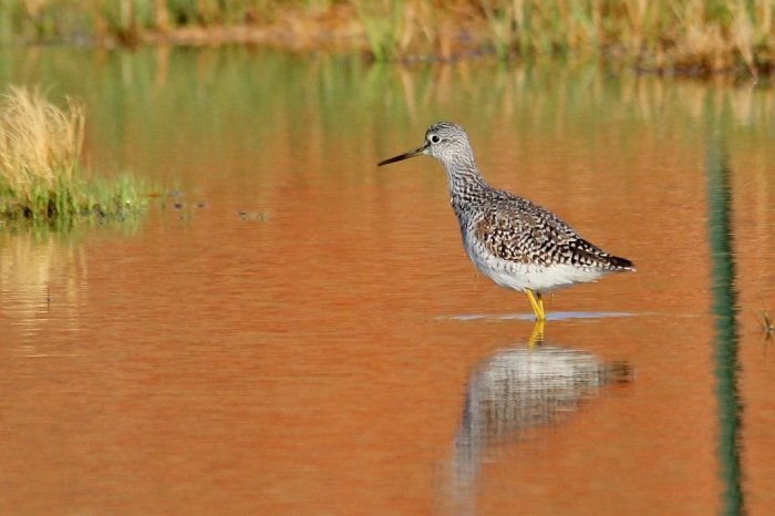 Greater Yellowlegs (37) (1024x682)