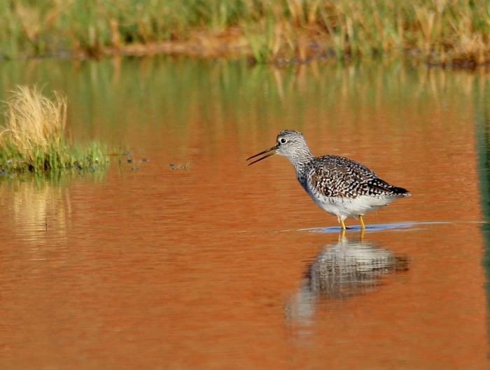 Greater Yellowlegs (38) (1024x775)