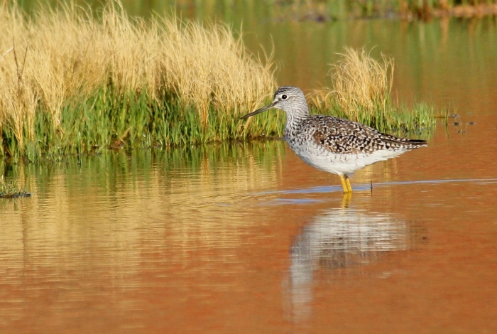 Greater Yellowlegs (40) (1024x688)