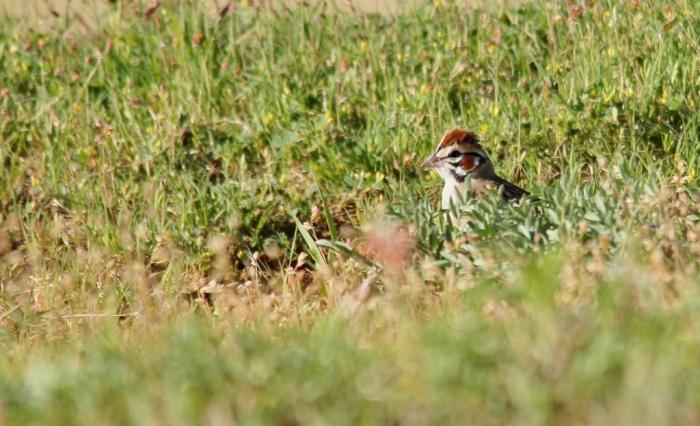 Lark Sparrow (2) (1024x624)