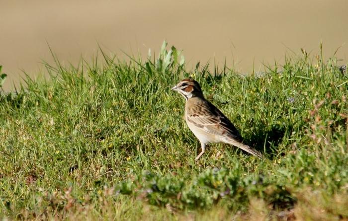 Lark Sparrow (4) (1024x652)