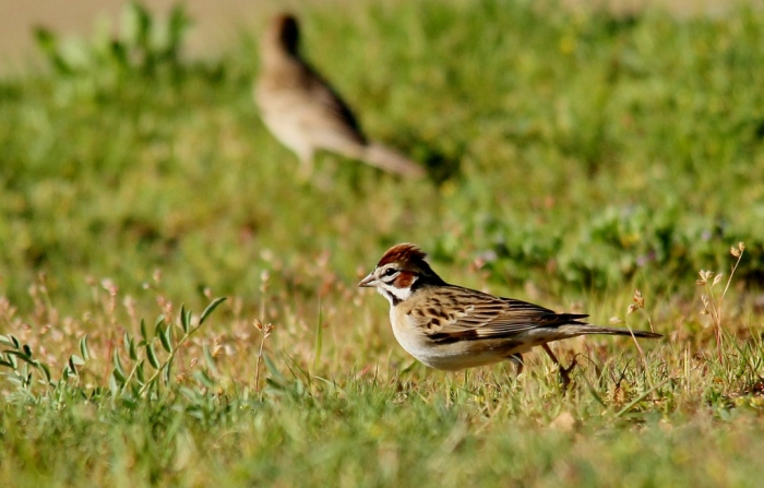 Lark Sparrow (6) (1024x655)