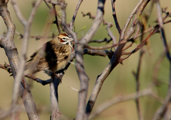 Lark Sparrow (8) (1024x722)