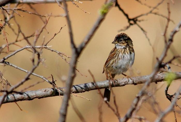 Lincoln's Sparrow (1) (1024x693)