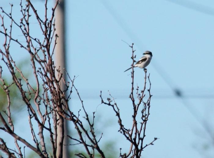 Loggerhead Shrike (1024x758)
