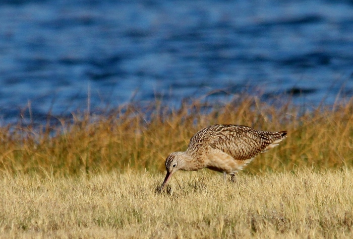 Long-billed Curlew (12) (1024x696)