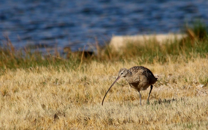 Long-billed Curlew (16) (1024x640)