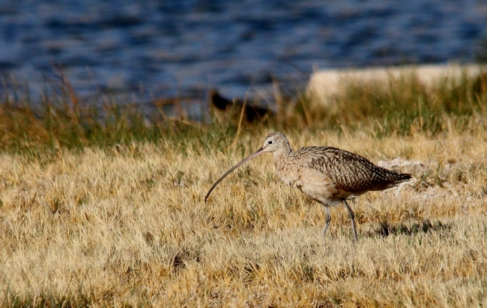 Long-billed Curlew (22) (1024x649)