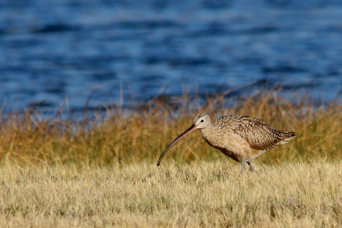 Long-billed Curlew (3) (1024x682)