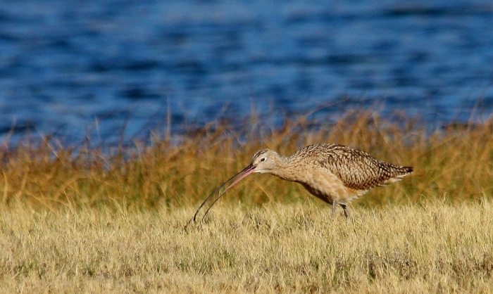 Long-billed Curlew (5) (1024x612)
