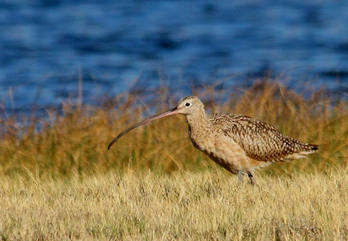 Long-billed Curlew (7) (1024x712)