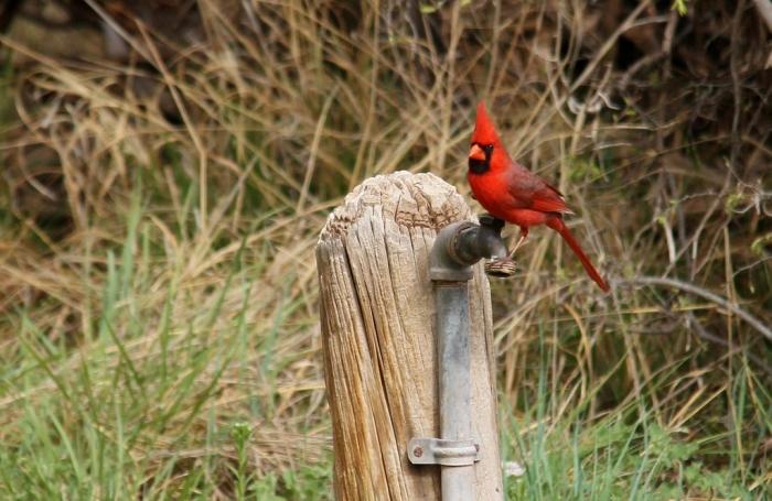 Northern Cardinal (1024x666)