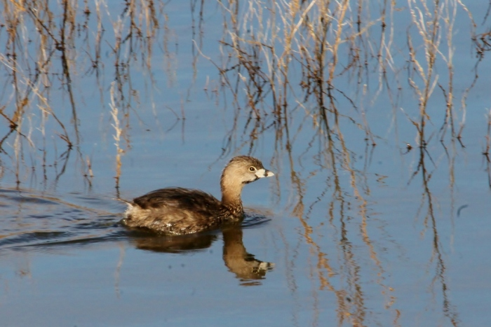 Pied-billed Grebe (3) (1024x684)
