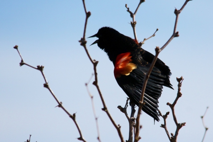 Red-winged Blackbird (9) (1024x684)
