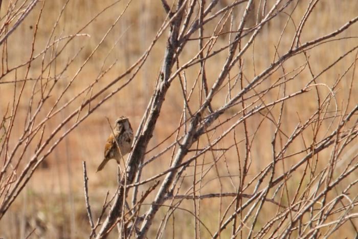 Song Sparrow (1024x684)