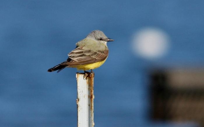 Western Kingbird (4) (1024x639)