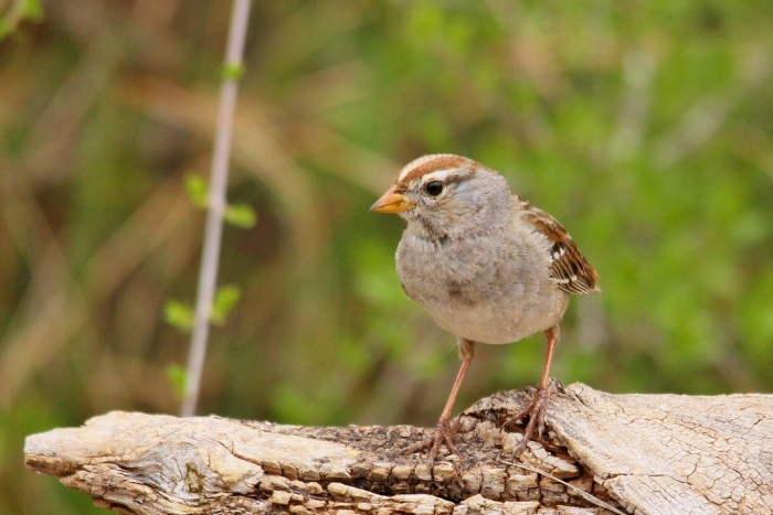 White-crowned Sparrow (17) (1024x684)