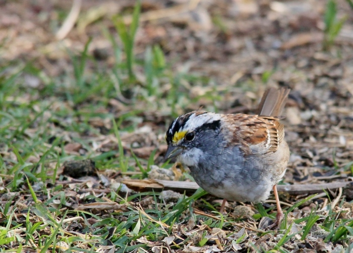 White-throated Sparrow (1024x735)