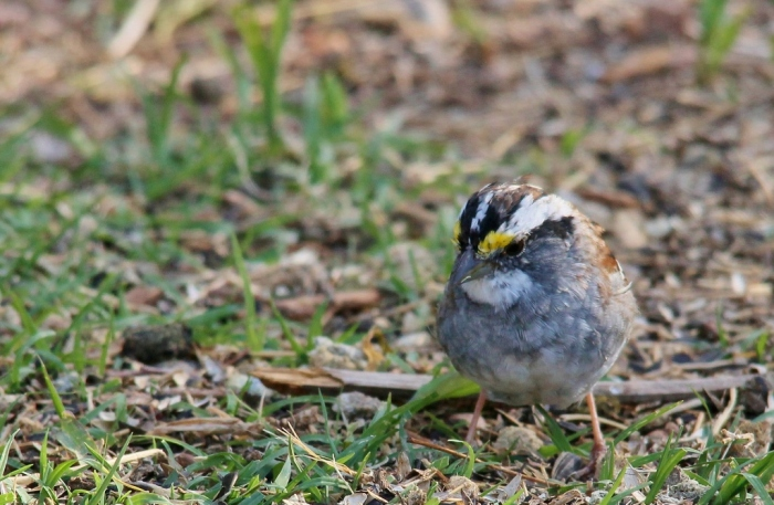White-throated Sparrow (6) (1024x669)