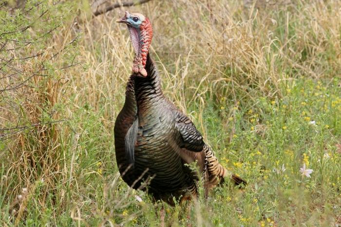 Wild Turkey (11) (1024x683)