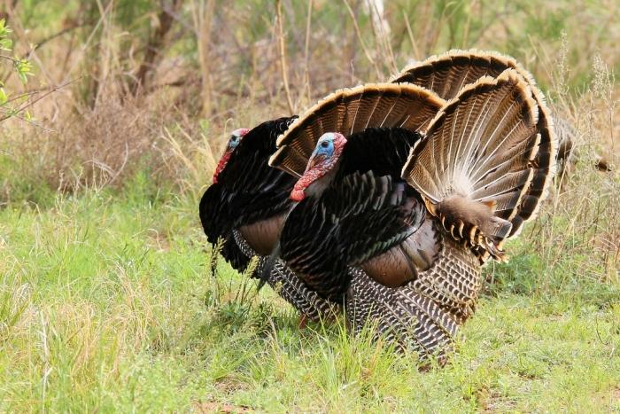 Wild Turkey (20) (1024x684)
