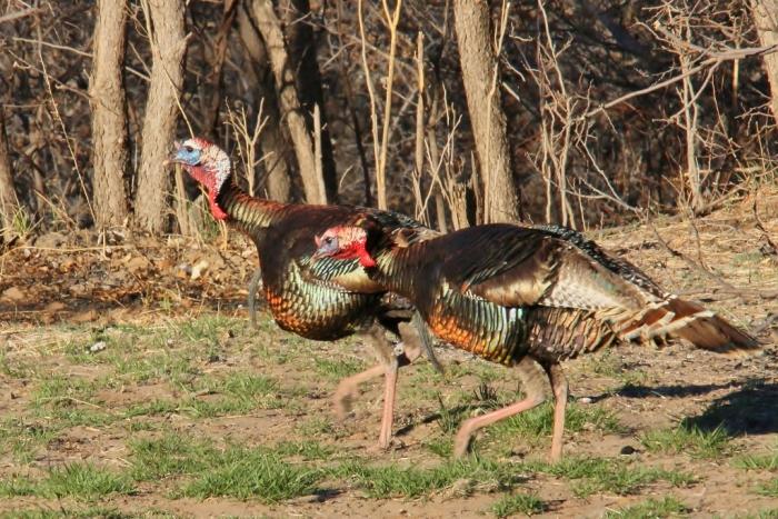 Wild Turkey (8) (1024x684)