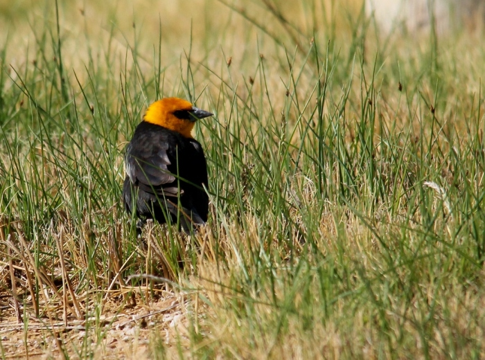 Yellow-headed Blackbird (1) (1024x762)