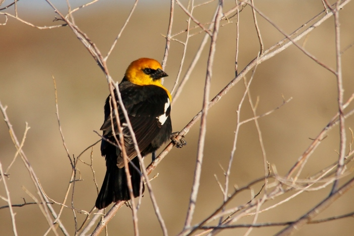 Yellow-headed Blackbird (1024x684)