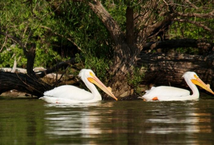 American White Pelican (71) (1024x694)