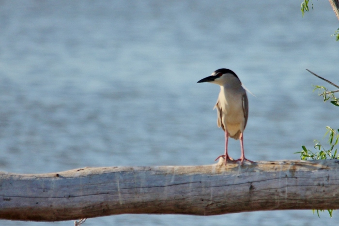 Black-crowned Night-Heron (11) (1024x684)