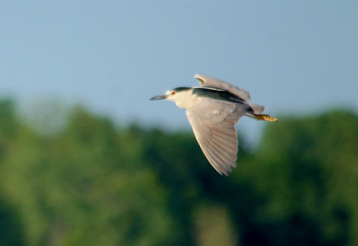 Black-crowned Night-Heron (16) (1024x706)