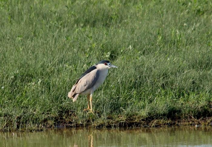 Black-crowned Night-Heron (19) (1024x711)