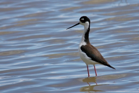 Black-necked Stilt (3) (1024x684)