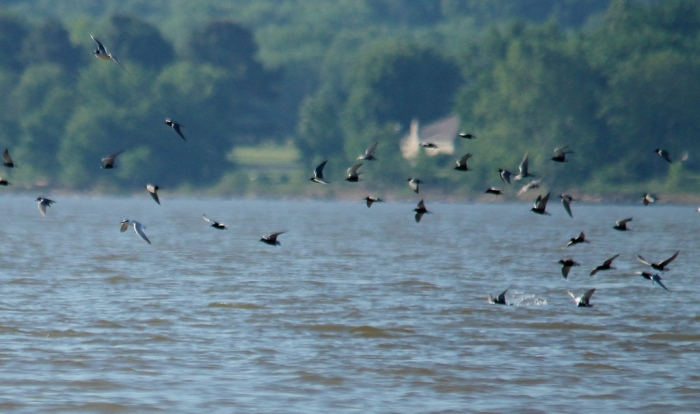 Black Tern (4) (1024x607)