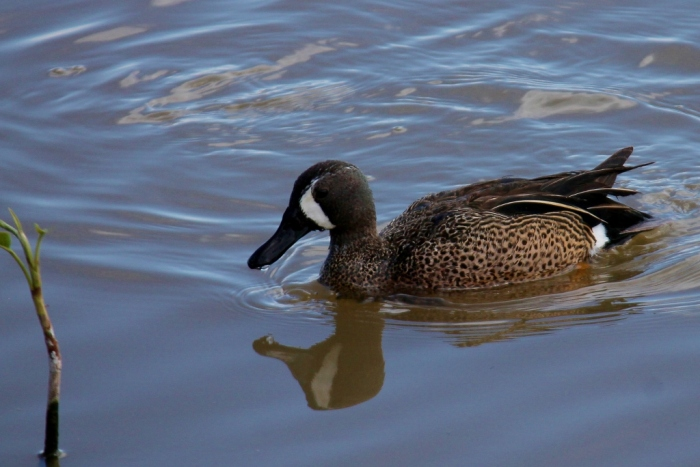 Blue-winged Teal (47) (1024x684)