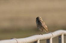 Burrowing Owl (10) (1024x679)