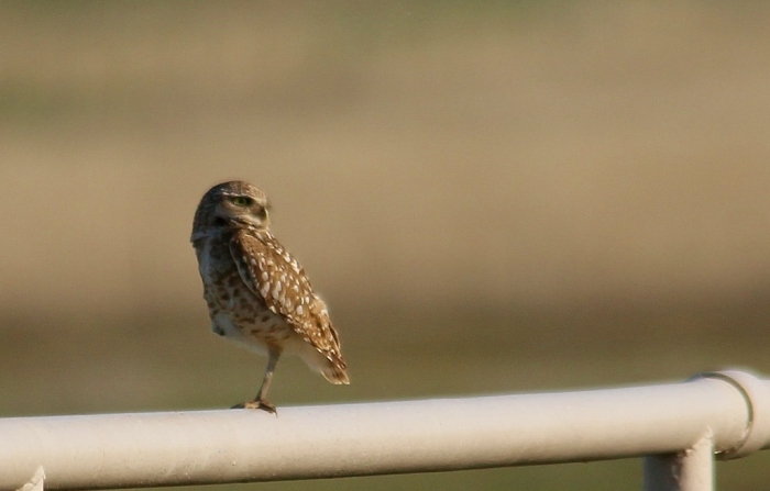 Burrowing Owl (5) (1024x655)