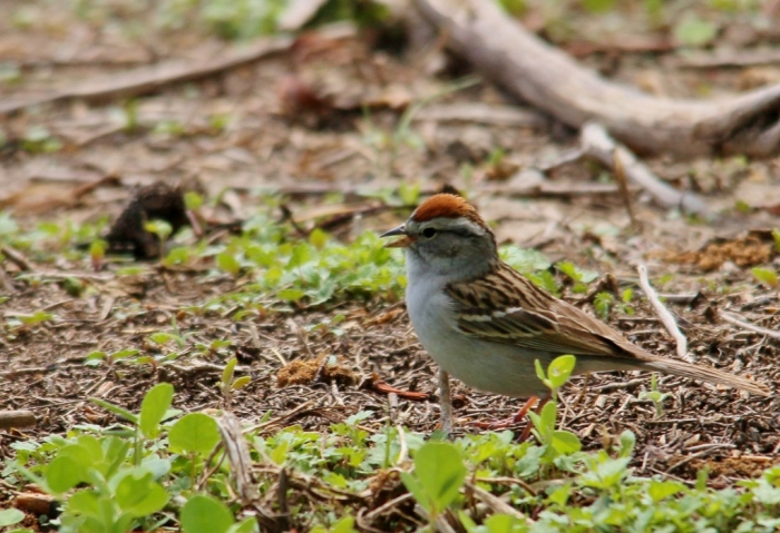 Chipping Sparrow (3) (1024x701)
