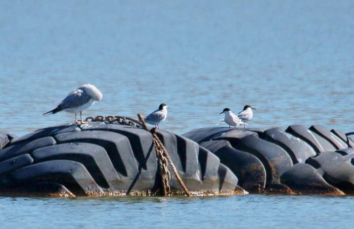 Forster's Tern and Ring-billed Gull (1024x699)