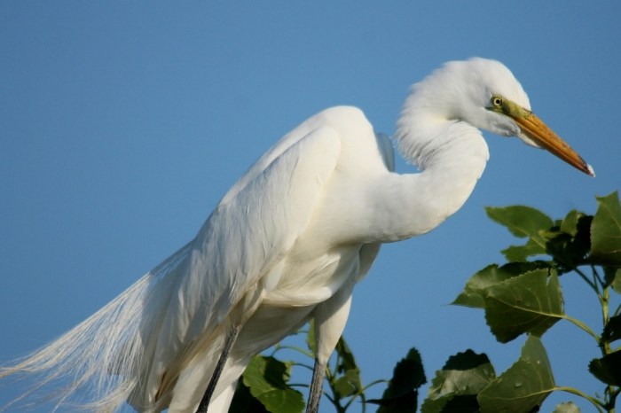 Great Egret (2) (1024x682)