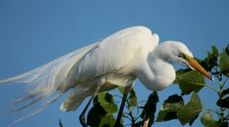 Great Egret (4) (1024x568)