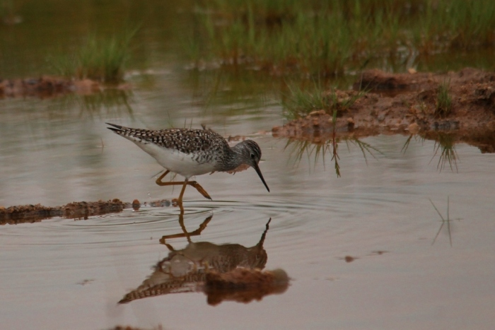 Lesser Yellowlegs (14) (1024x684)