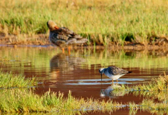 Lesser Yellowlegs (2) (1024x702)