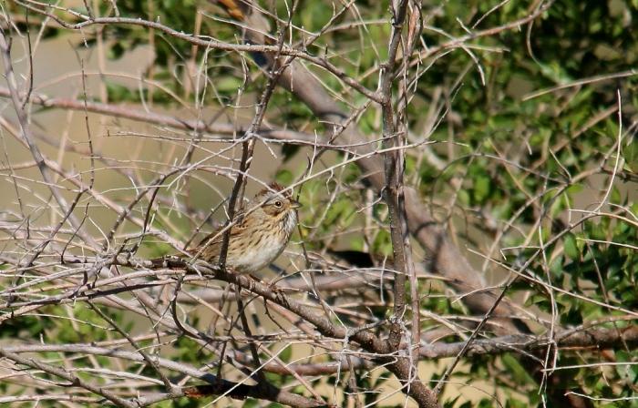 Lincoln's Sparrow (6) (1024x656)