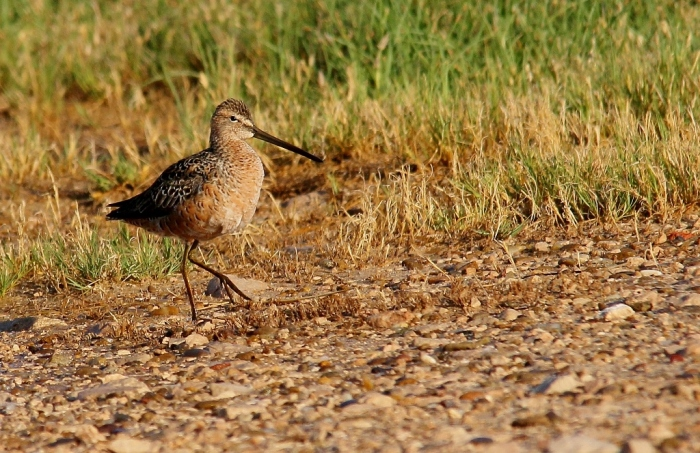 Long-billed Dowitcher (12) (1024x664)