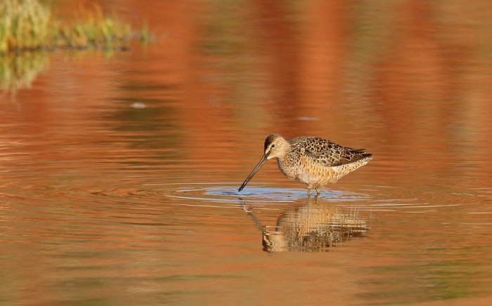 Long-billed Dowitcher (13) (1024x639)
