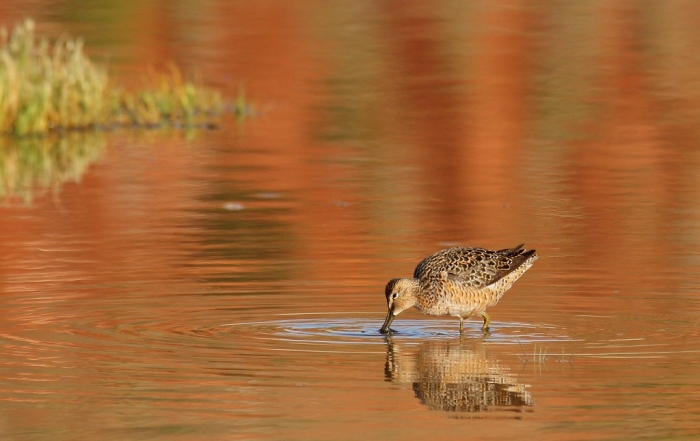 Long-billed Dowitcher (14) (1024x646)