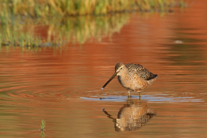 Long-billed Dowitcher (16) (1024x686)