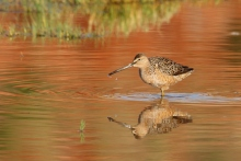 Long-billed Dowitcher (17) (1024x687)
