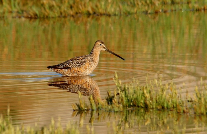 Long-billed Dowitcher (2) (1024x664)
